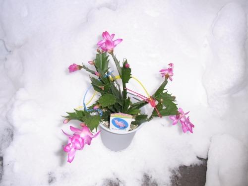 激寒に・・サボテンをプニョット雪をバックに撮影