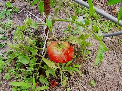 トマト食べられた事3