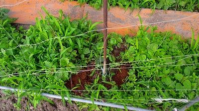 野菜苗の誘引補正3