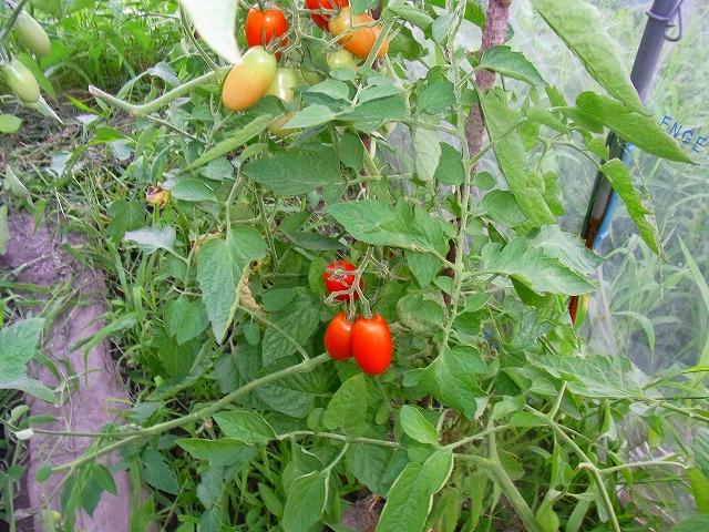 トマトの結束と栽培方法?