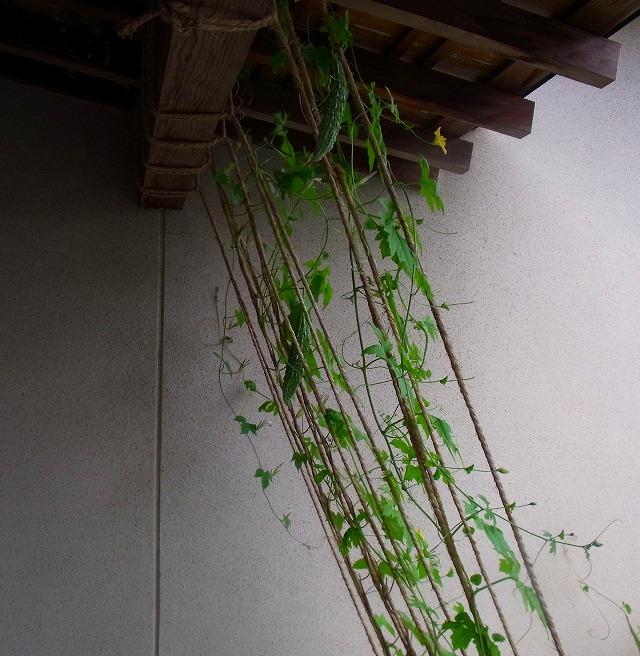 ゴーヤ(にがうり)の緑のカーテン