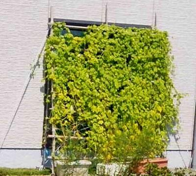 緑が濃い窓の緑化カーテン