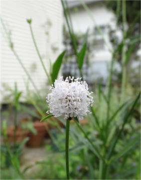 Succisella inflexa 'Frosted Pearls'