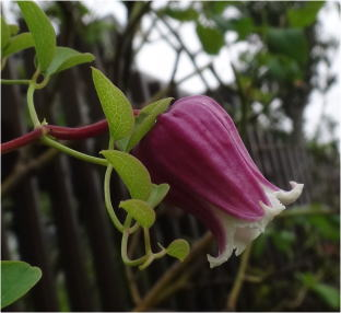 clematis viorna strawberry kiss