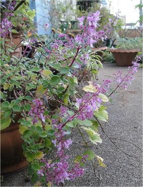 plectranthus pink cricker