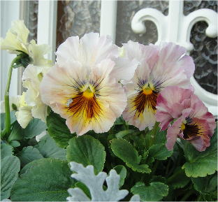 frilled pansy