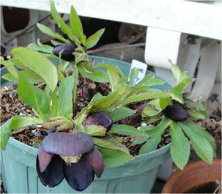 Helleborus black