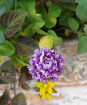 Trifolium_sp08894.jpg