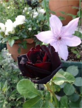 black_velvet05849.jpg