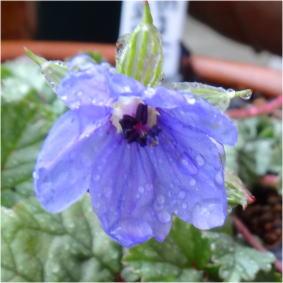 erodium gruinum