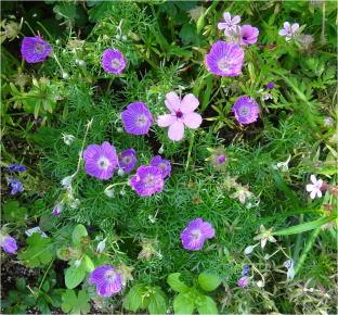geranium06187.jpg