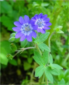 geranium blue white face