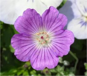 geranium harveyi