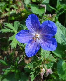 geranium_johnsons_blue