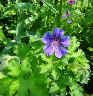 geranium_orkney