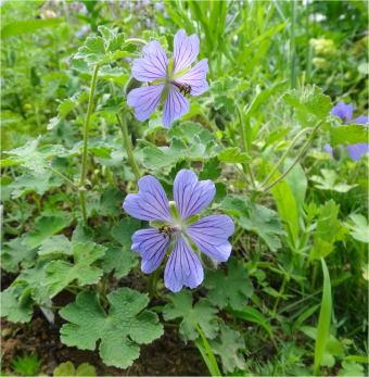geranium_philippe_vapelle