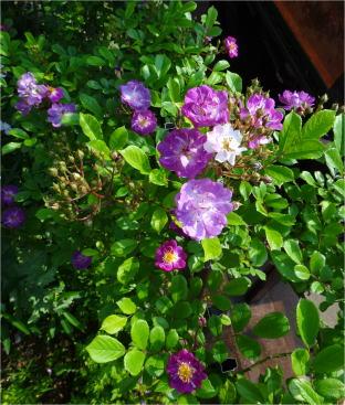 lavender_friendship04534.jpg