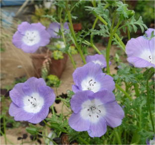 nemophila purple