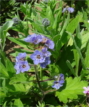 phacelia_lavender_lass