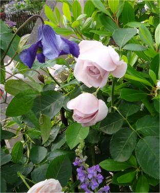 rose_e_clema05910.jpg