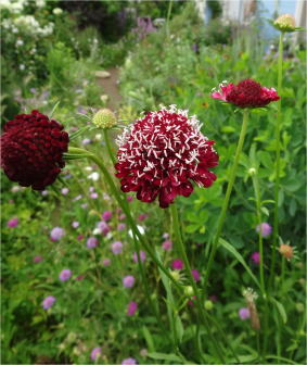 scabiosa atropurpurea purple and cream