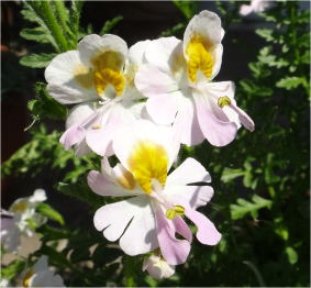 schizanthus angel wings