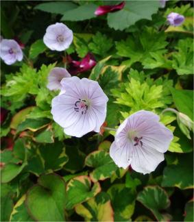 geranium lilac eye
