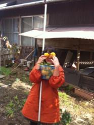 柚子収穫5