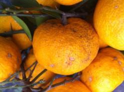 柚子収穫4
