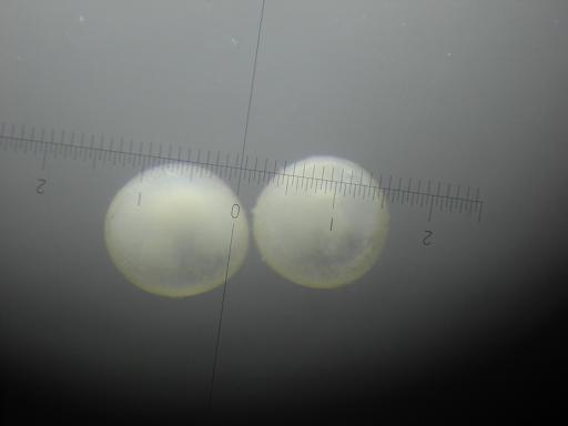090904コリ卵01