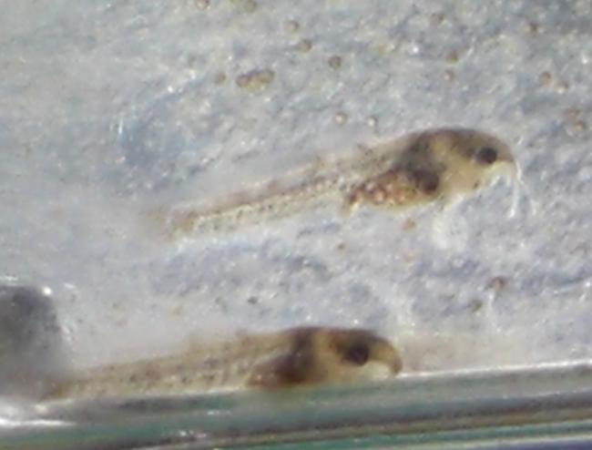 090912コリ稚魚02