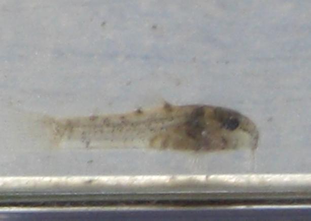 090917コリ稚魚