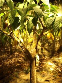 20110717新千歳空港カカオの木
