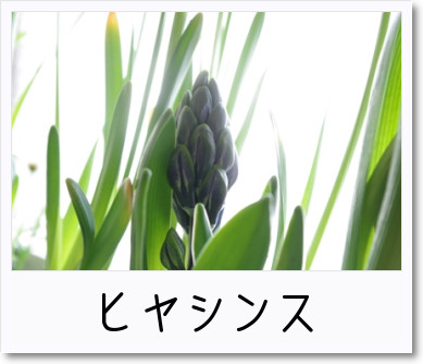 [photo]ヒヤシンス