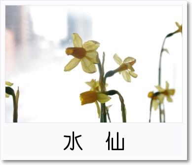 [photo]水仙