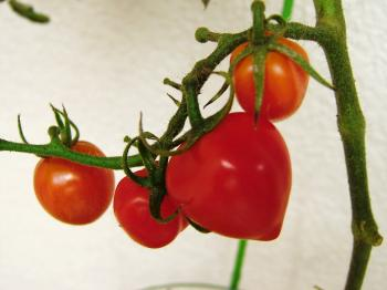 tomato41.jpg