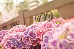 長崎の紫陽花