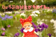しょうぶの花とミーコちゃん
