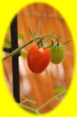 0629 フルーツトマト甘い