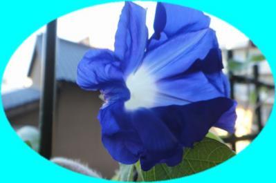 811青いアサガオ