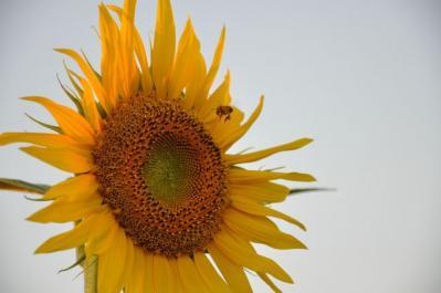 吉井町 杷木ひまわり ひとつとミツバチさん 3