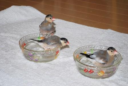 換羽中の雛ちゃんたちの水浴び