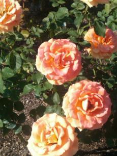 rose+garden_mini.jpg