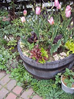 e-garden チューリップと野菜の寄せ植え
