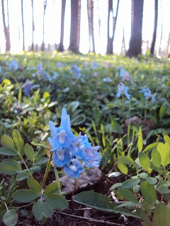 エゾエンゴザクの森