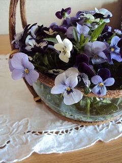 ビオラ花盛り