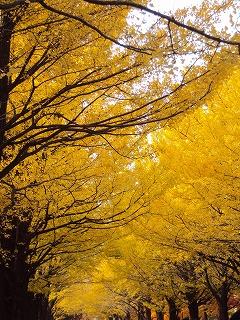 金色の銀杏並木2010