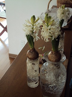 2011 今年の初花はヒヤシンス