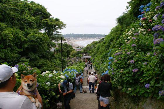 18 鎌倉成就院の紫陽花