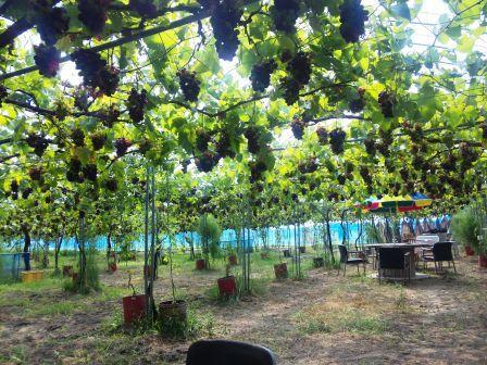 ハマネぶどう園2